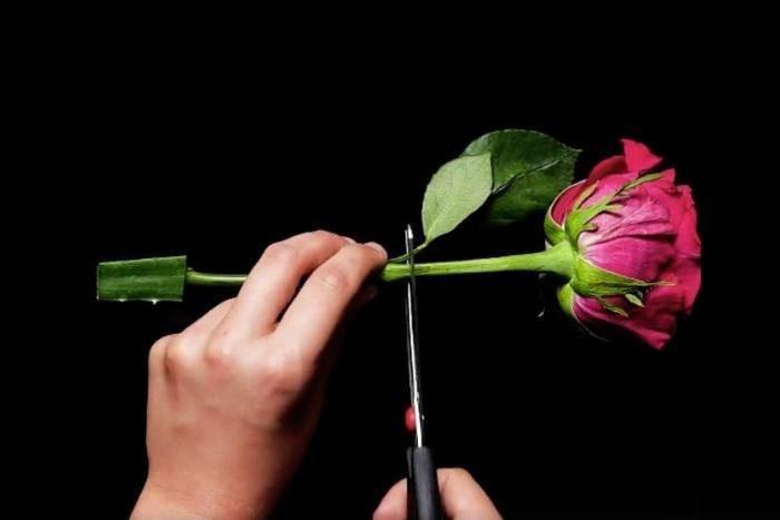 Cắt 1 đoạn cành Hoa hồng dài từ 10-15cm